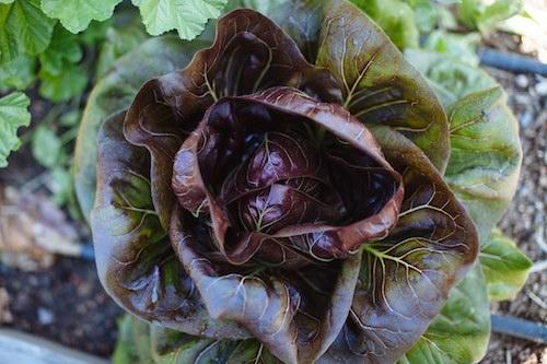Woah Lettuce