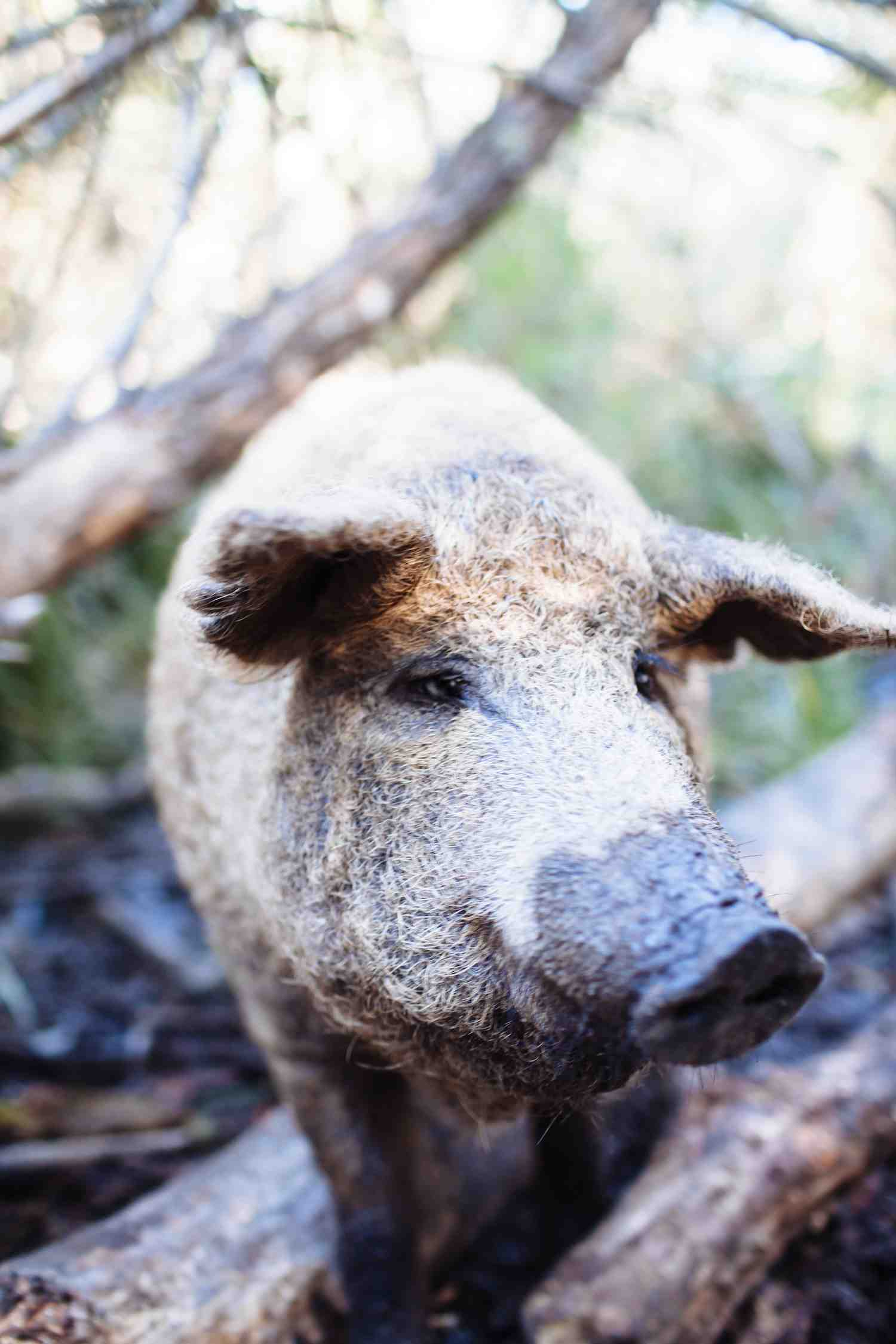 Pig Farmer, Tim Winkler 2014 . m. woolsey-4 1500x90
